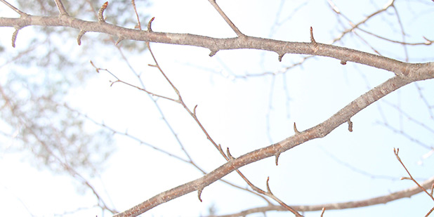 3月10日(土)講義「桜の開花前線」・雪上実習「冬芽観察」