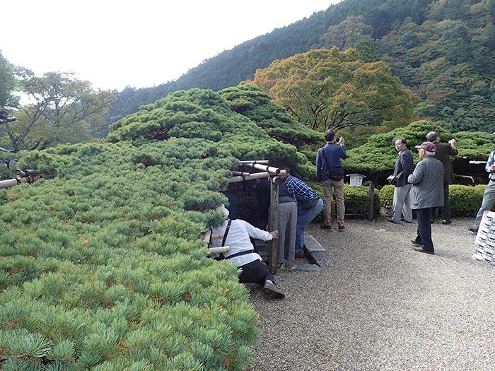 京都・善峯寺(よしみねでら)の「遊龍(ゆうりゅう)の松
